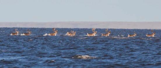 Péninsule de Taïmy en Mer de Sibérie : des rennes se déplacent en nageant en mer dans l'une des régions les plus reculées de Russie ©Alexey Ebel / WWF-Canon